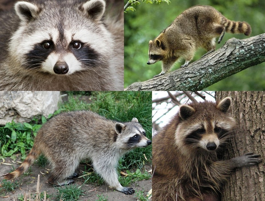 Mod The Sims - Now you can have a Raccoon for a pet!