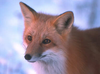 Mod The Sims Red Fox