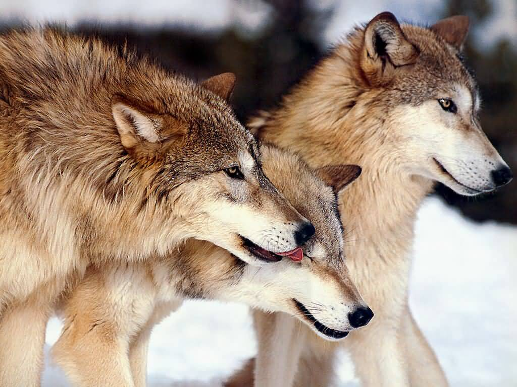 Wolves: The Real Wolf (yellow