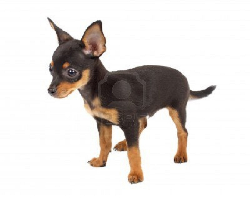 mod the sims   russian toy terrier