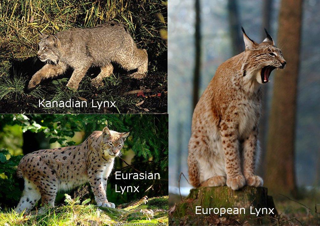 Cat You Have A Pet Lynx